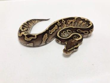 Male Leopard Butter Royal Python CB19
