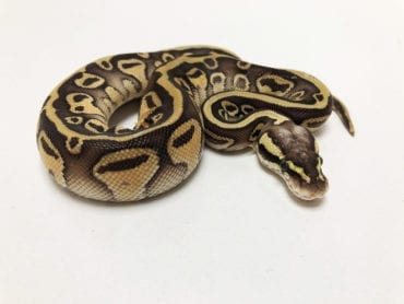 Female Leopard Butter Pastel Royal Python CB19