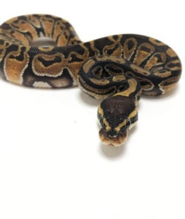 Female Classic Royal Python CB19
