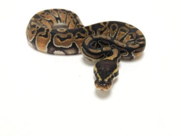 Female Classic Royal Python CB19