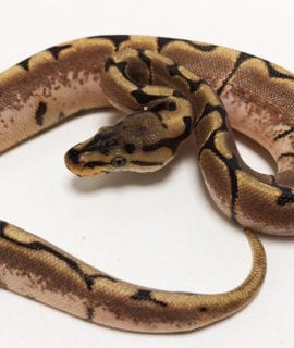 Female Spider Royal Python CB19