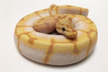 Male Coral Spider Royal Python CB19