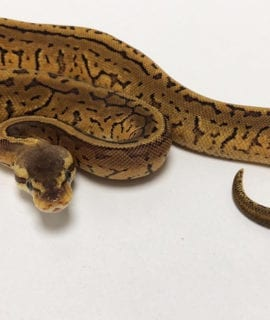 Female Pastel Pinstripe Royal Python CB19
