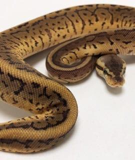 Male Pastel Pinstripe Royal Python CB19