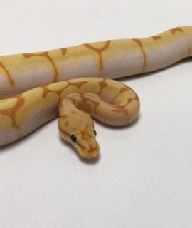 Male Coral Enchi Spider Royal Python CB19
