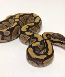 Female Fire het Pied Royal Python CB19