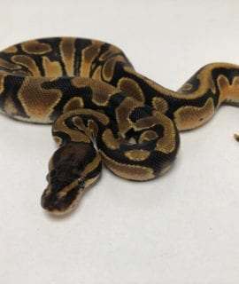 Male Orange Dream het Pied Royal Python CB19