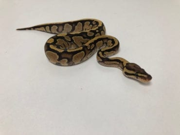 Female Fire Orange Dream het Pied Royal Python CB19