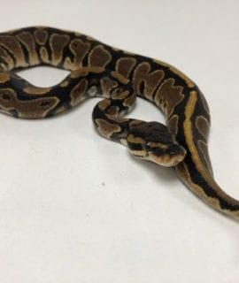Male Classic het Pied Royal Python CB19