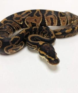 Female Leopard Royal Python CB19