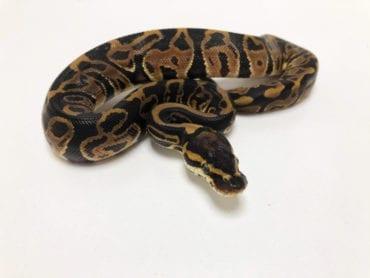 Female Leopard Royal Python CB19