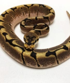 Male Spider Royal Python CB19