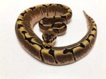 Male Spider Royal Python CB19