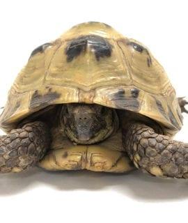 Male Breeder Horsefield Tortoise CB