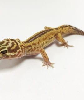 Female Reverse Stripe Leopard Gecko CB18