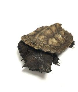 Black Mata Mata Turtle WC