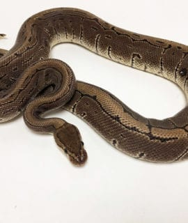 Male Pinstripe Royal Python 1kg CB18