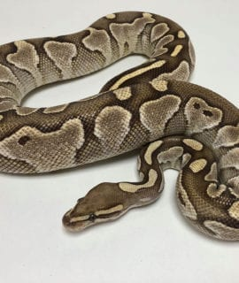 Female Butter Royal Python 1.55kg CB18