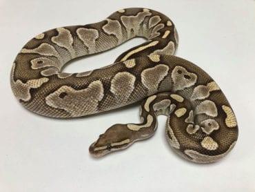 Female Butter Royal Python 1.55kg CB18