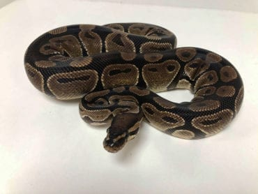 Female Classic Royal Python 1.8kg CB18