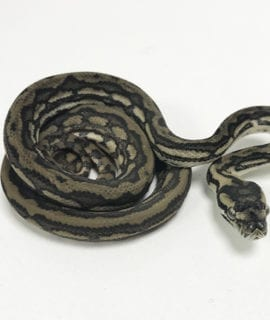 Tiger Striped het Albino Carpet Python CB19