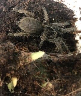 Burst Horned Baboon Tarantula 2-3cm