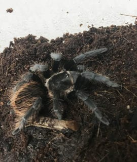 Mexican Red Rump Tarantula 5-6cm