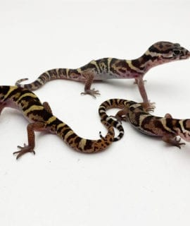 Sexed Trio Adult Banded Gecko WC
