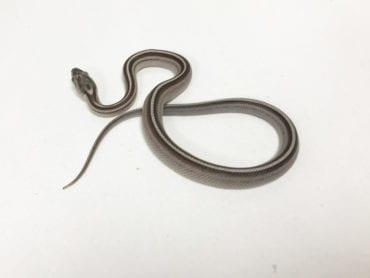 Anery Stripe Corn Snake CB19