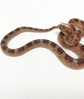 Diffused Corn Snake CB19