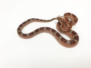 Diffused Corn Snake CB19