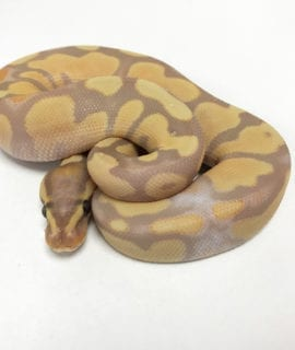 Male Banana het Pied Royal Python