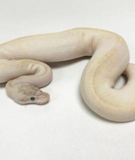 Male Ivory het Pied Royal Python CB19
