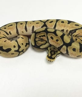 Female Phantom Spider het Pied Royal Python CB19