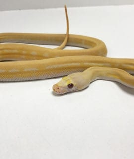 Female Ultra Ivory Albino Mainland Reticulated Python CB19