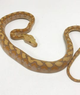 Female Lavender Albino Mainland Reticulated Python CB19
