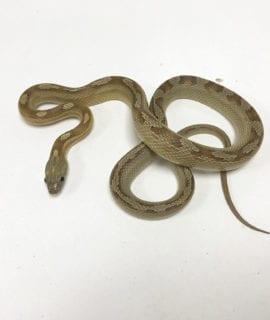 Caramel Motley Corn Snake CB19