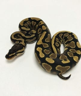 Female Yellowbelly het Pied Royal Python CB19