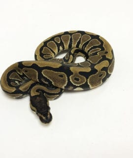 Female Classic het Pied Royal Python CB19