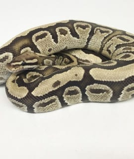 Male Fire Royal Python CB18