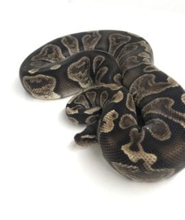 Male GHI Royal Python CB17