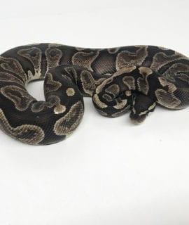 Female GHI Royal Python CB17