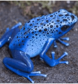 "Blue Poison Arrow Frog ""AZUREUS"" CB"