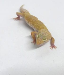 Hybino Leopard Gecko (Tremper Albino) CB19