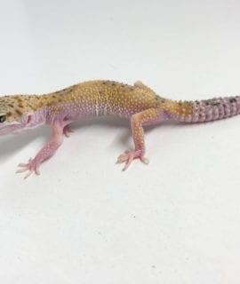 Eclipse Leopard Gecko CB19
