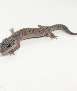 Enigma Leopard Gecko CB19