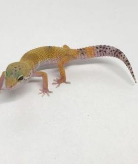 Hypo Leopard Gecko CB19