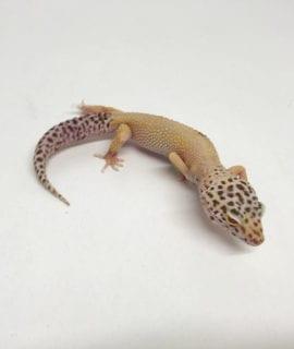 Bell Albino Eclipse Leopard Gecko CB19