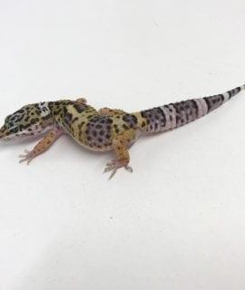 Classic Leopard Gecko CB19