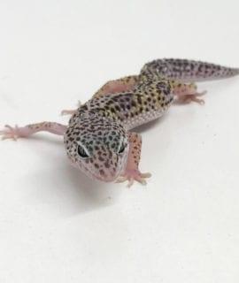 Jungle Mack Snow Leopard Gecko CB19